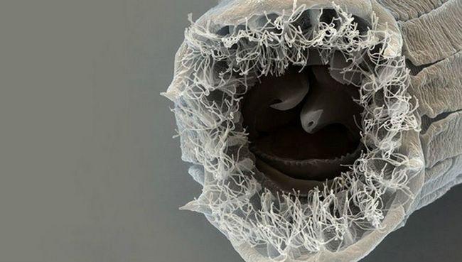 В плодах инжира найден червь с пятью обличьями