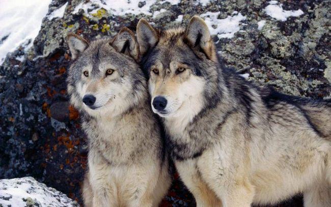 Vlci se vrátil k Polsku po 50 letech.