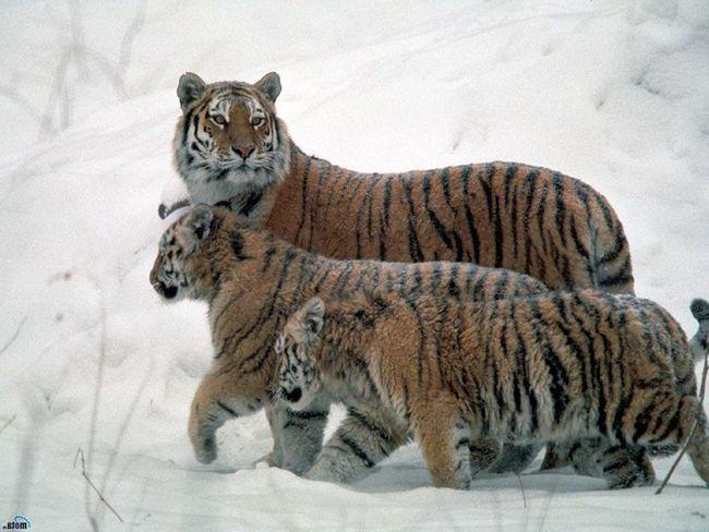 V Rusku a Číne tigrov stal sa viac.