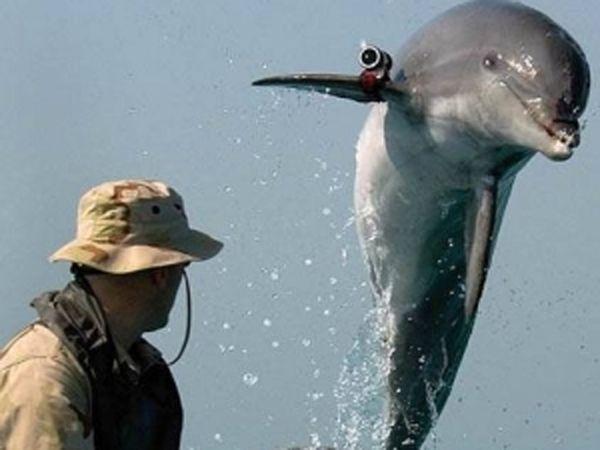 В севастополе возобновили подготовку боевых дельфинов для вмс