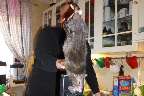 В швеции поймали 40-сантиметровую крысу