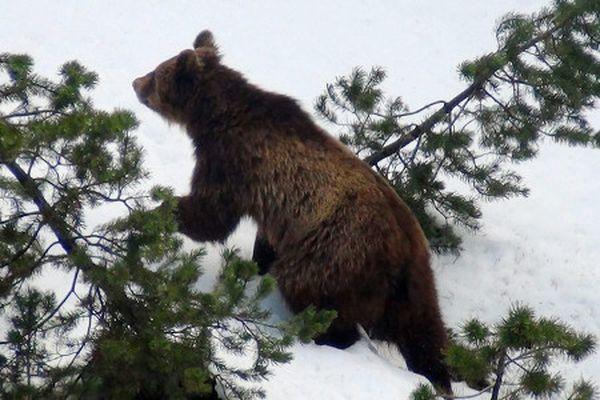 В швейцарии убили единственного в стране медведя