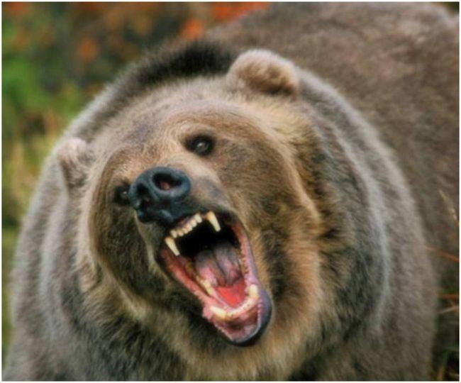 Medvjed ubijen gljiva berač.