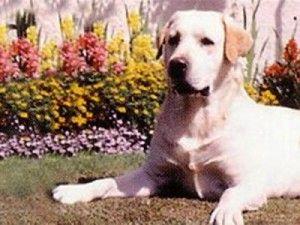 U Sjedinjenim Američkim Državama aktivno kloniranih pasa