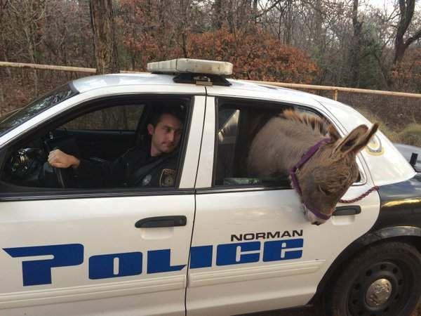 U SAD-u, a magarac jaše na policijski auto.