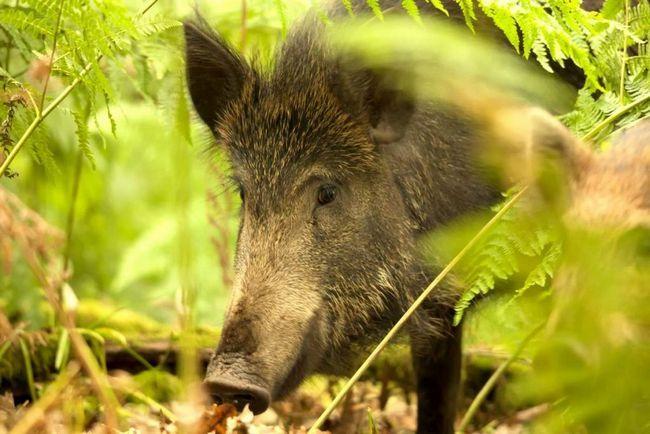 Napad svinje u poljima krompira u regiji Sverdlovsk.