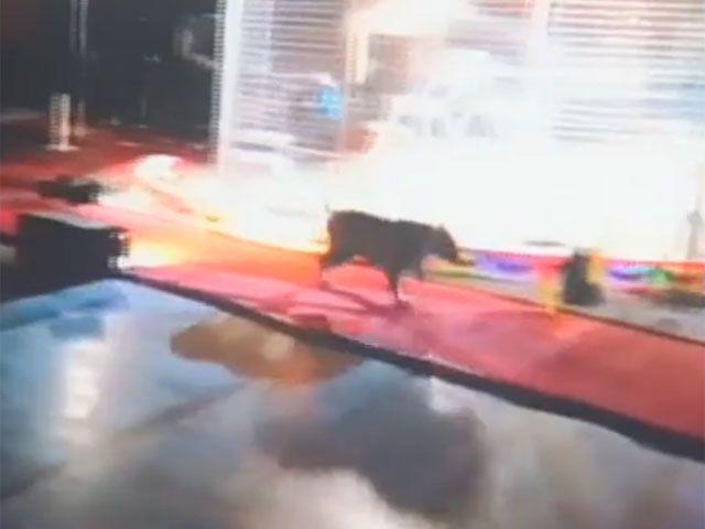 В уборной цирка американка столкнулась со сбежавшим тигром