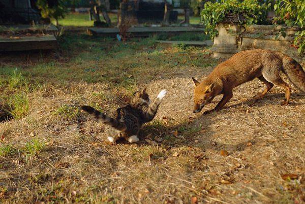 Rabid fox napada na kućne ljubimce.