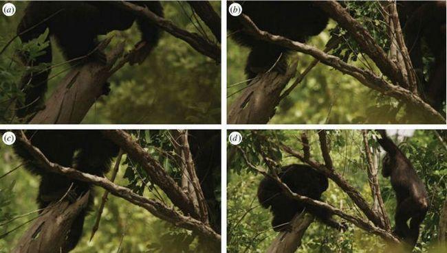 В уникальной популяции шимпанзе среди самок устоялась мода на копья