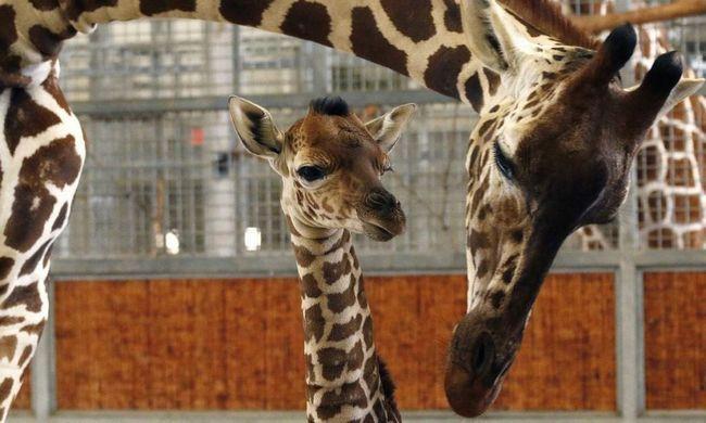 Mrtve bebe žirafe.
