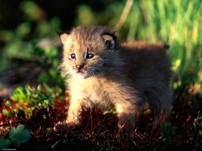 Mačka dojila bebu ris.