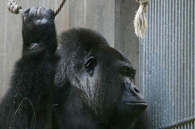 Горилла не нанесла травм маленькому ребенку, однако ради его безопасности, примата все же пришлось застрелить.