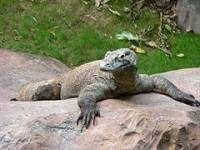 В зоопарке сингапура появился собственный дракон