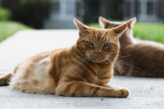 Вакдерм для кошек: инструкция по применению