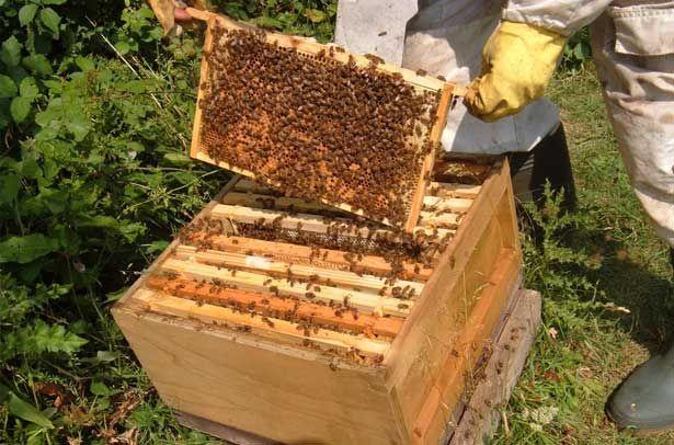 Inšpekcia včiel včelára