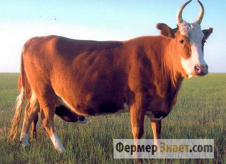 Kalmyk chovu kráv