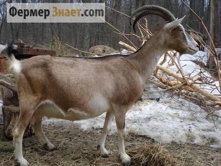Važne trenutke uzgoja i koza Alpine rase