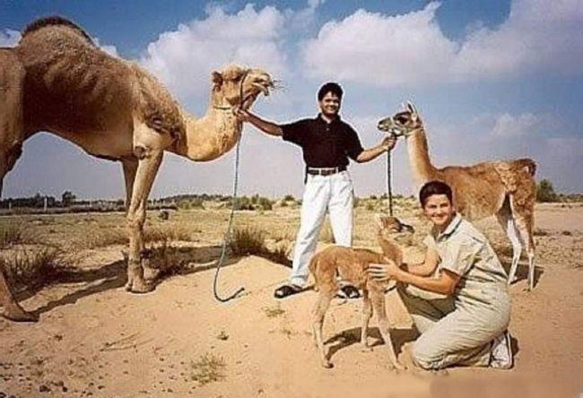 Zanimljiv tandem - Camel + Lama, u kojoj je rođen krevetu.
