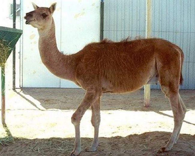 Kama vuna je jednako kvalitetan kao da je od lame, i izdržljivost hibridni zavist bilo kamile.