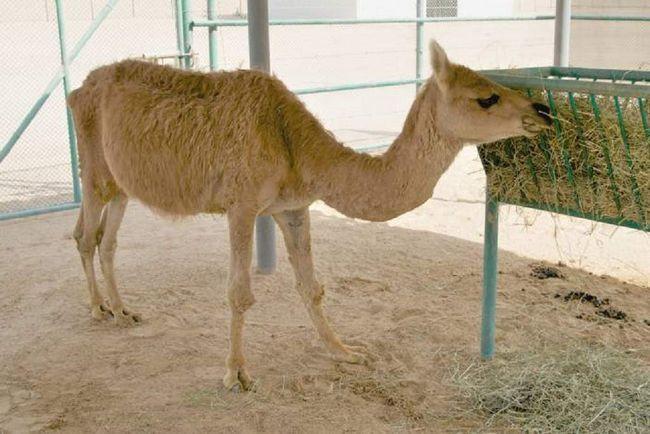 Verblyulama - je životinja koja ne može dati potomstvo.