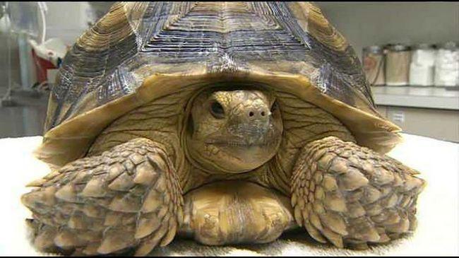 Ветеринары были поражены, узнав, что черепаха проглотила черепаху