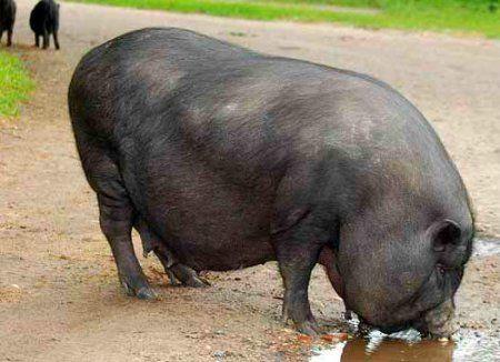Вьетнамская вислобрюхая порода свиней