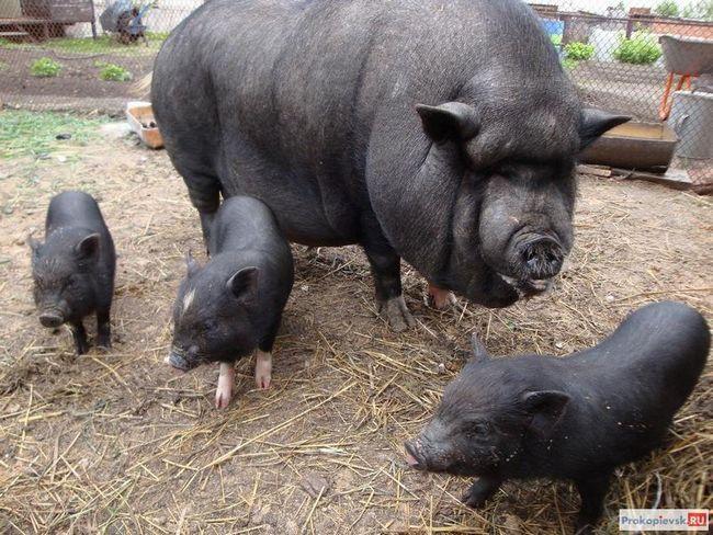 Vijetnamski svinja video