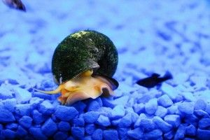 Виды аквариумных улиток