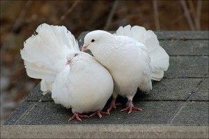Виды голубей - почтовые голуби