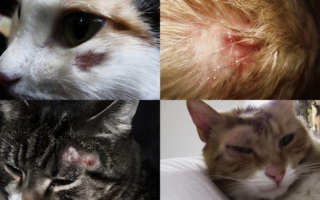 Vrste lišavajući mačke: Simptomi i tretman