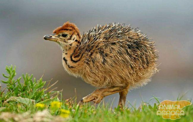 pštrosí chick