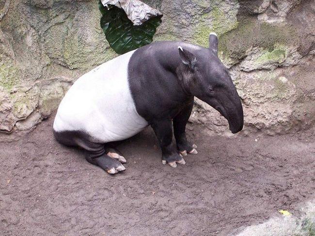 Чепрачный тапир (Tapirus indicus).