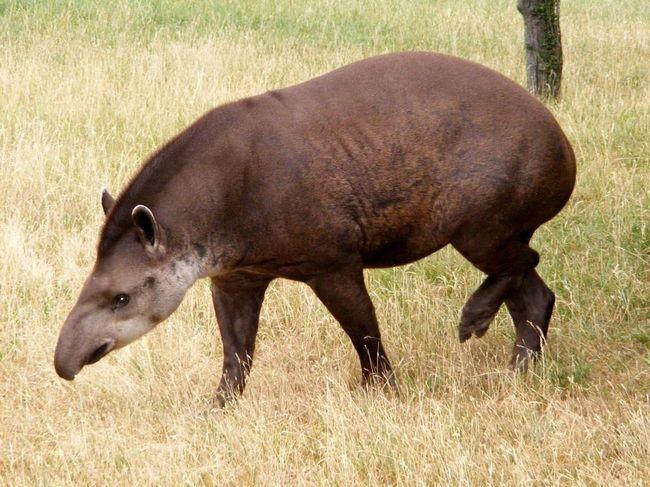 Равнинный тапир (Tapirus terrestris).
