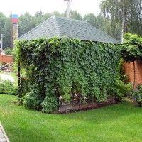 Grožđe za vertikalnu sadnju