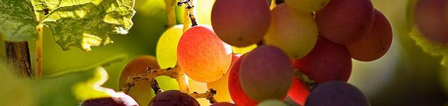 Grožđe u Sibiru - u blizini-term perspektive ruske proizvodnje vina
