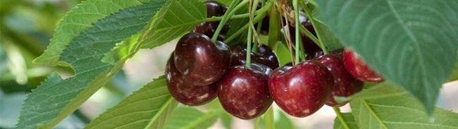 Cherry Владимир и други популярни сортове