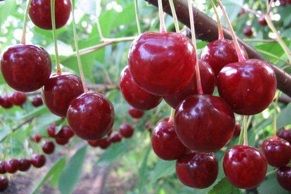 Fotografie cherry dezert Morozova