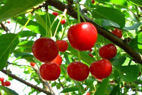 Фото вишни шпанки