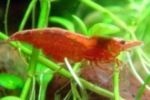 Вишнёвая креветка: содержание в аквариуме