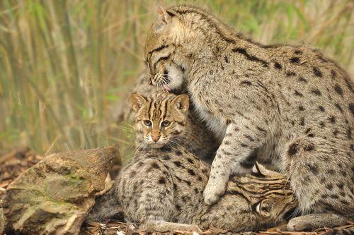 Виверровый кот-рыболов: кот который умеет плавать