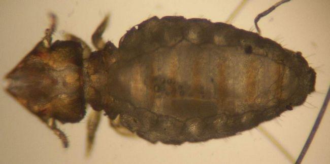 Власоеды (Trichodectidae).