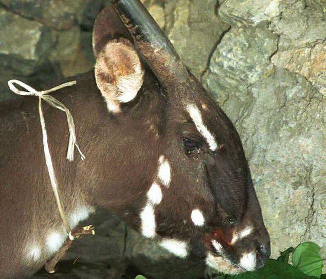 Во вьетнаме удалось обнаружить редчайшее млекопитающее - азиатского единорога