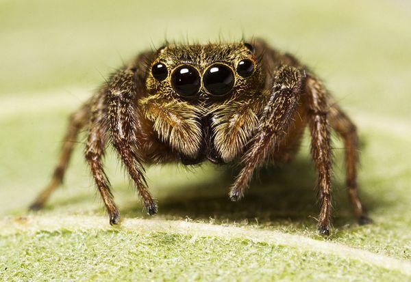 Во время охоты пауки-скакуны применяют оригинальное инженерное решение