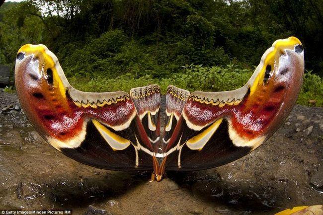 Во время прогулки фотограф снял одну из крупнейших бабочек в мире