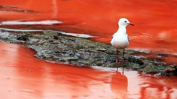 Crvena voda daje posebnu alge tijekom cvatnje (foto: news.com.au)