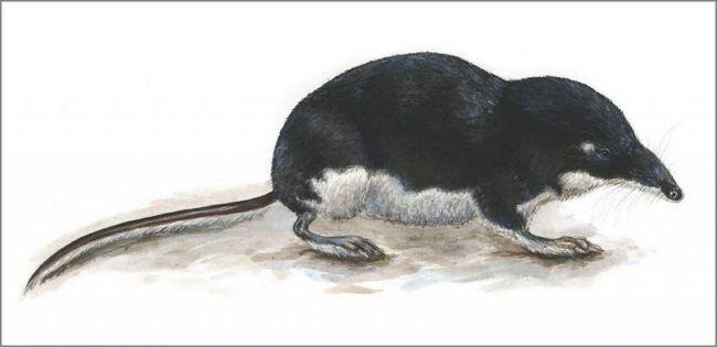 Водяная кутора (Neomys fodiens).
