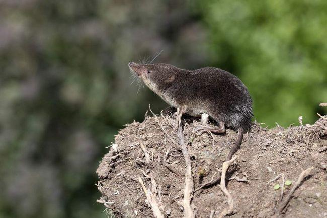 Обыкновенная кутора обитает на берегах небольших пресных водоемов.