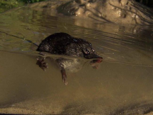 Водяная кутора охотится в воде летом и зимой на насекомых, земляных червей, моллюсков и других водных беспозвоночных.