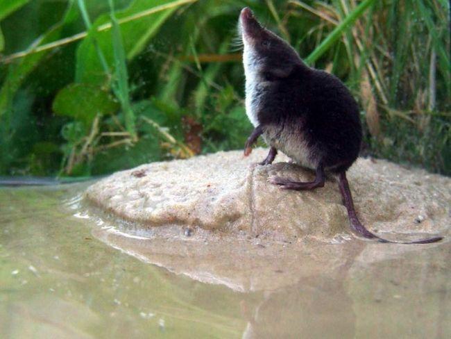 Водяная кутора отлично плавает и ныряет, за что и получила такое название.