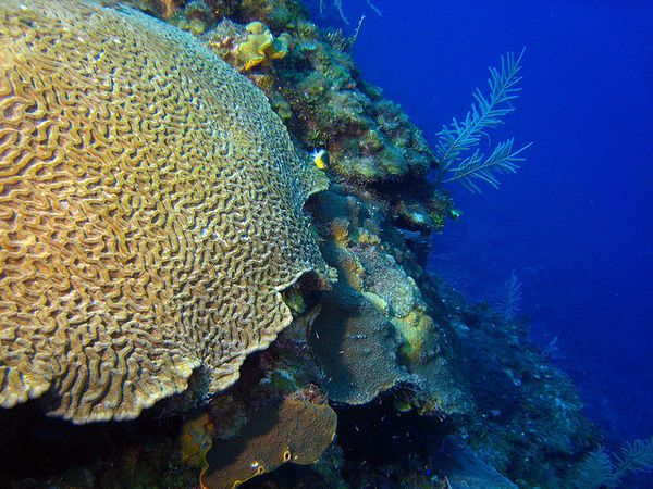 Водоросли-симбионты кораллов, погибая, тащат за собой своих хозяев